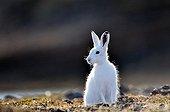 Lièvre arctique assis dans la toundra - Groenland