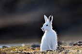 Arctic hare sitting in tundra - Scoresbysund Greenland