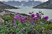 Dwarf Fireweed flowers in tundra - Nordvest Fjord Greenland