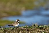 Ringed Plover in tundra - Hurry fjord Greenland  ; intermediate plumage