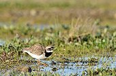 Ringed Plover in tundra - Hurry fjord Greenland