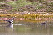 Red-throated Loons on water - Scoresbysund Greenland