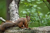 Red squirrel on a branch - Finland