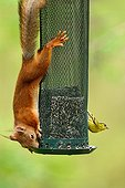 Red squirrel on a birdfeeder - Finland
