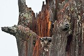 Northern Hawk Owl in a hollow trunk - Finland