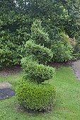 Common box topiary in a garden