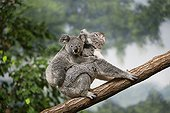 Koala carrying his young on her back on a branch
