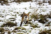 Red fox running in snow - Normandy France