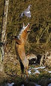 Red fox hunting a Wood Pigeon - Normandy France