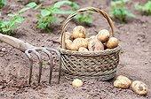 Harvest of potatoes in a kitchen garden