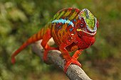 Panther Chameleon - Ambilobe Madagascar