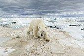 Polar Bear walking on the ice - Hudson Bay Canada