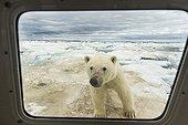 Polar Bear looking on the ice - Hudson Bay Canada ; Looks into Boat Window on Sea Ice