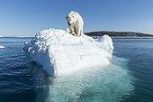 Polar Bear on Iceberg - Hudson Bay Canada