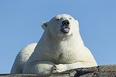 Polar bear resting on rocky slope - Hudson Bay Canada