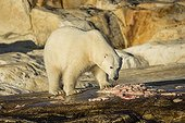 Polar bear feeding on remains of Beluga - Hudson Bay Canada  ; remains of Beluga Whale killed by Native hunters