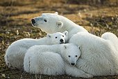 Polar bears resting on bare tundra - Hudson Bay Canada