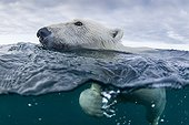 Polar bear swimming - Hudson Bay Canada