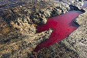 Blood from Beluga Whale killed by Iniut hunters - Canada