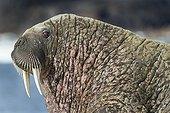 Portrait of Walrus - Hudson Bay Canada