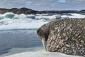 Walrus resting on ice floe - Hudson Bay Canada