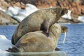 Walrus and calf on ice floe - Hudson Bay Canada