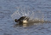 Male Tufted Duck landing on water - GB