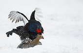 Black Grouses mating in snow - Finland