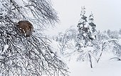 Female Black Grouse on snowy branch - Lapland Finland