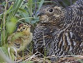 Black Grouse female and a chick at nest - Finland