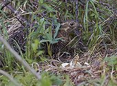 Black Grouse female and hatching chick at nest - Finland