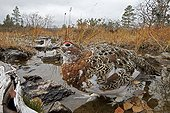 Willow Ptarmigan on ground in autumn - Lapland Finland