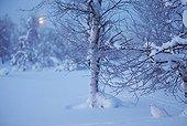 Willow Ptarmigan in snow - Lapland Finland