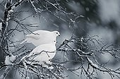 Willow Ptarmigans on a snowy branch - Lapland Finland