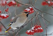 Waxwing eating berries on a branch - Finland