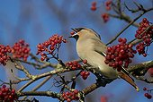 Waxwing eating a berry on a branch - Finland