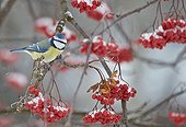 Blue Tit on a branch and ripe berries - Finland