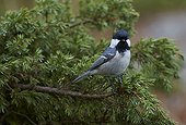 Coal Tit on a branch - Finland