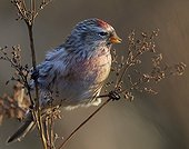 Common Redpoll on a branch - Finland