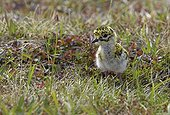 Golden Plover chick in tundra - Norway