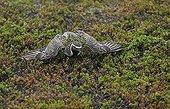 Golden Plover in tundra - Norway