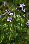 Chickweed willowherb in bloom in Catalonia - Spain