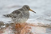 Purple Sandpiper on the shore - Finland