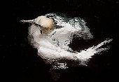 Fou de Bassan pêchant sous l'eau - Shetland RU