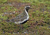 Golden Plover on tundra - Norway