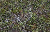 Golden Plover eggs at nest on tundra - Norway