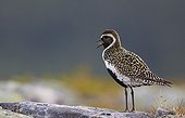Golden plover in the tundra - Lapland Finland