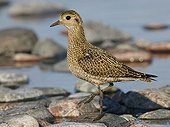 Golden plover on shore - Finland