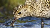 Golden plover feeding on shore - Finland