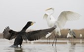 Great Cormorant facing Great White Egret in water - Hungary